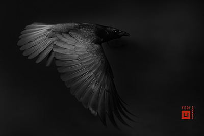 animal photography wildlife crow