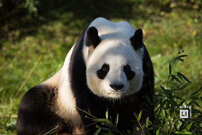 animal photography china panda